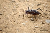 We stayed a night in Olifants and on the way out we saw this carnivorous cricket and his mates hopping onto the road and cannibalistically eating their mates who'd be trodden on by cars before us! What a sight.