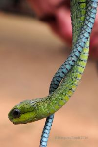Most venomous snake in Southern Africa - the Boomslang (pronounced Boo-em-slung)