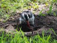 This southern red-billed hornbill was busy digging in the sand near our tents for food.