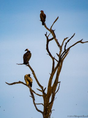 At the wild dog kill site, these vultures and eagle wait their turn