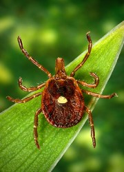 Beware of ticks like this Lone Star tick. Photo by CDC.