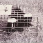 Dealing with Skunks Publication