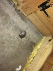 Mice treated with toxicants don't go outside looking for water. They die where they die. Photo by Stephen M.  Vantassel.