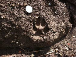 Coyote track. A U.S. quarter is shown. Photo by Stephen M. Vantassel.