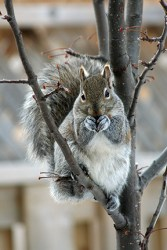 Eastern Gray Squirrel (Sciurus carolinensis). Photo by WHPQ/Wikimedia 2009