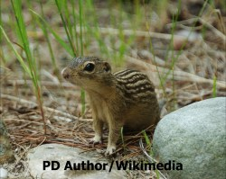 Thirteen-lined ground squirrels (Ictidomys tridecemlineatus) Photo: PD Author/Wikimedia.
