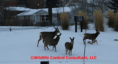 Large numbers of wildlife, like these mule deer, occasionally require depopulation. Photo: Stephen M. Vantassel.