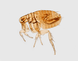 Oriental flea (Xenopsylla cheopis) associated with plague transmission.
