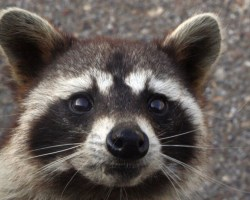 Raccoon urine can transmit leptospirosis