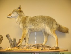 Coyote (Canis latrans) is a highly sought after predator. Photo: Stephen M. Vantassel.