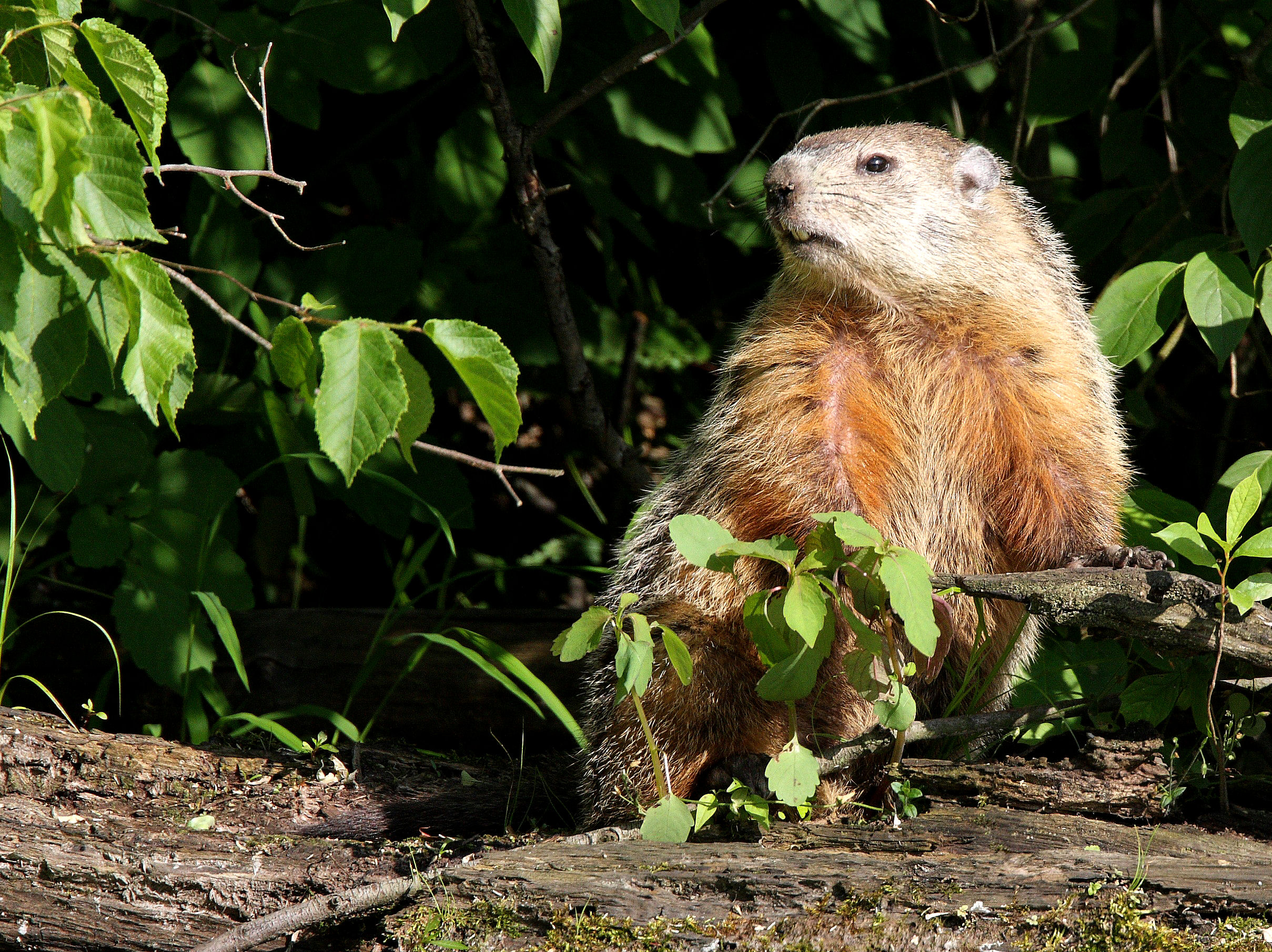 How To Deal With Problem Woodchuck In New York