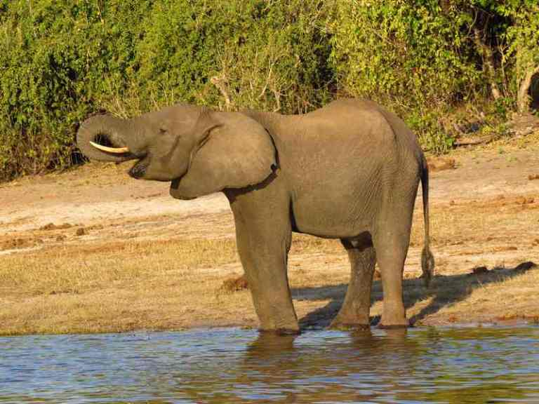 Elephant at chobe river front