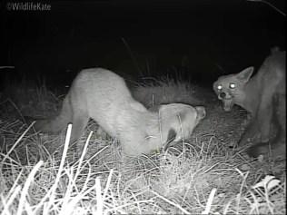 2 Fox Cubs munching_00001