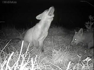 2 Fox Cubs munching_00002