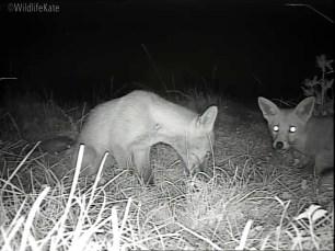 2 Fox Cubs munching_00003