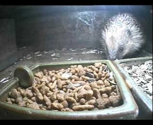 Hedgehog 24thAug2_00001