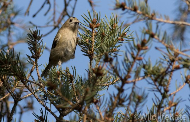 Goldcrest_-3544_lowRes13