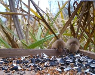 Vivotek Harvest Mice on 192.168.1.14 2016-03-15 16-06-52.816