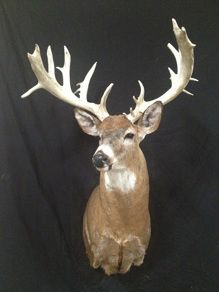 Buck Deer Mount
