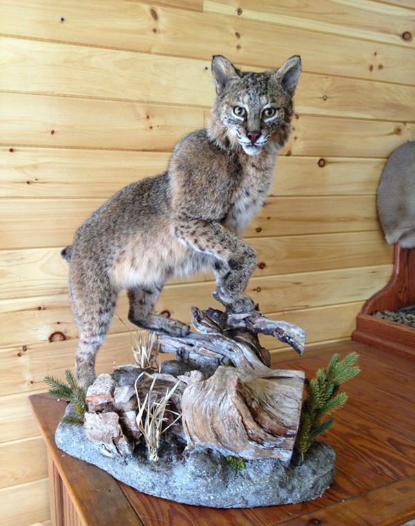 Bobcat Standing