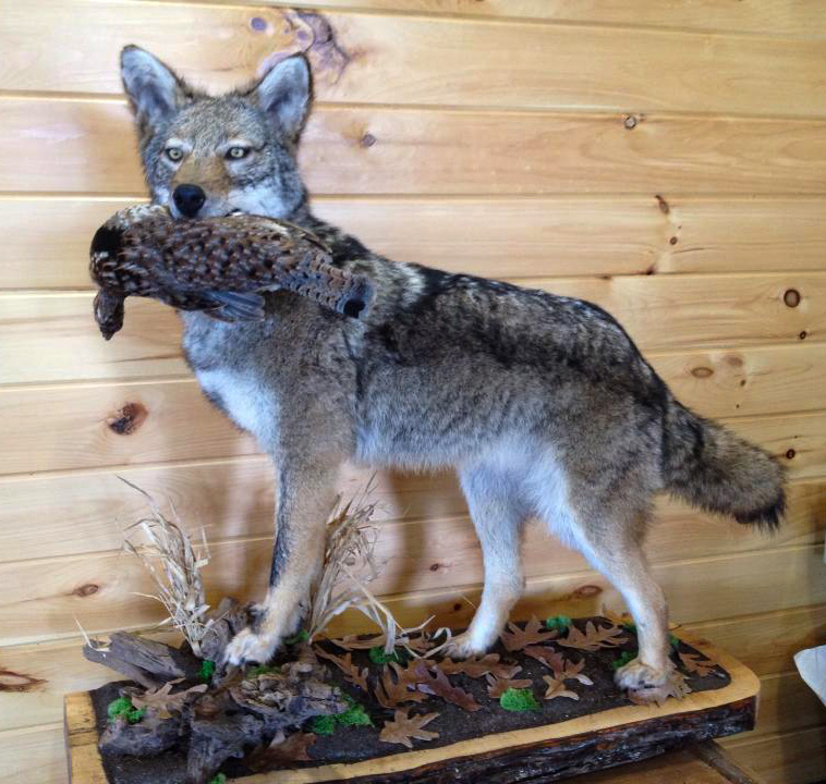 Coyote with Grouse