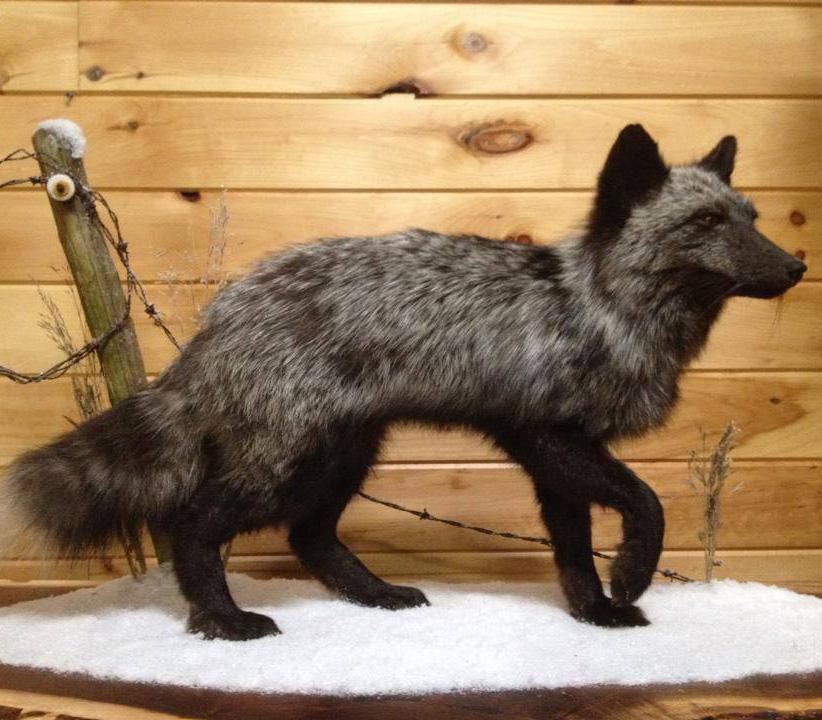 Silver Fox Mount