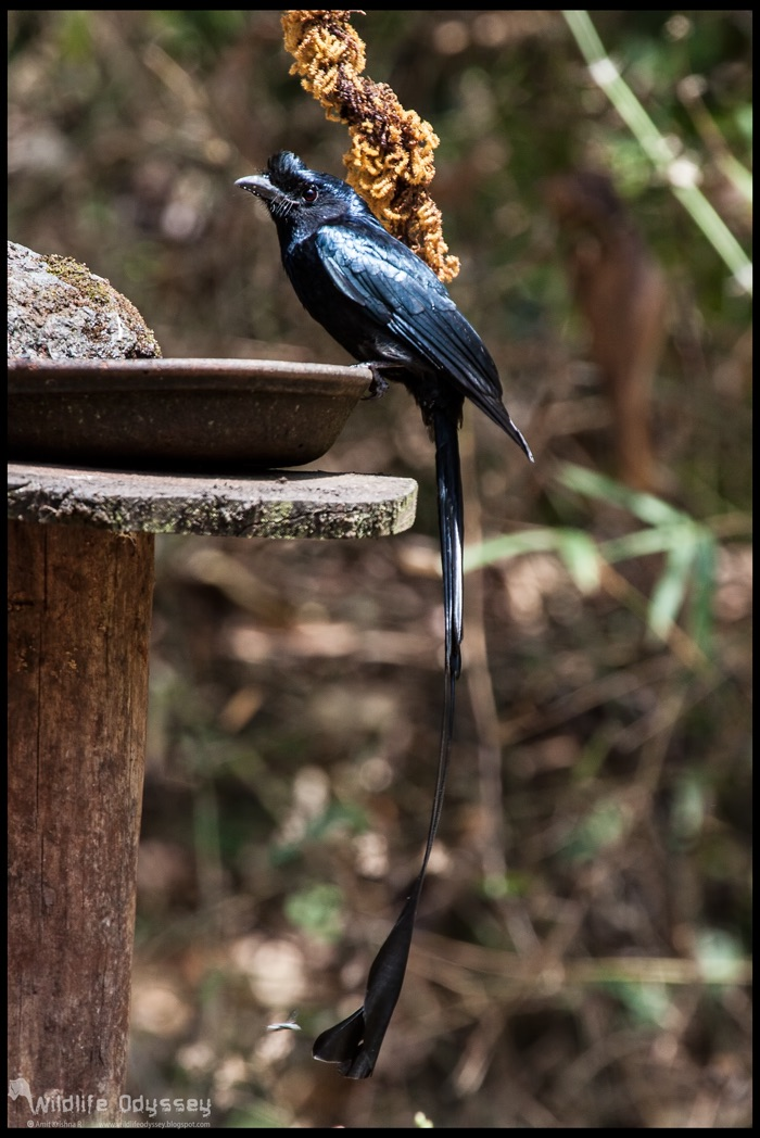 greater-racket-tailed-drongo_25815606914_o