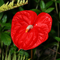 Red Hawaiian Flowers     Hawaiian Plants and Tropical Flowers     Red Hawaiian Flowers   Anthurium andraeanum     Anthurium