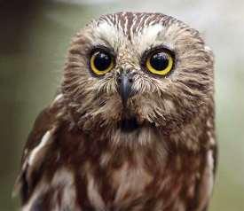 Saw-whet-Owl_iStock-000010962960Medium