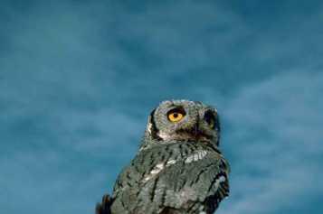 western-screech-owl-bird-megascops-otus-kennicottii-725x483