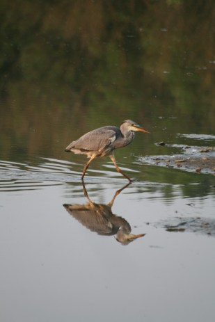 Grey heron chick.