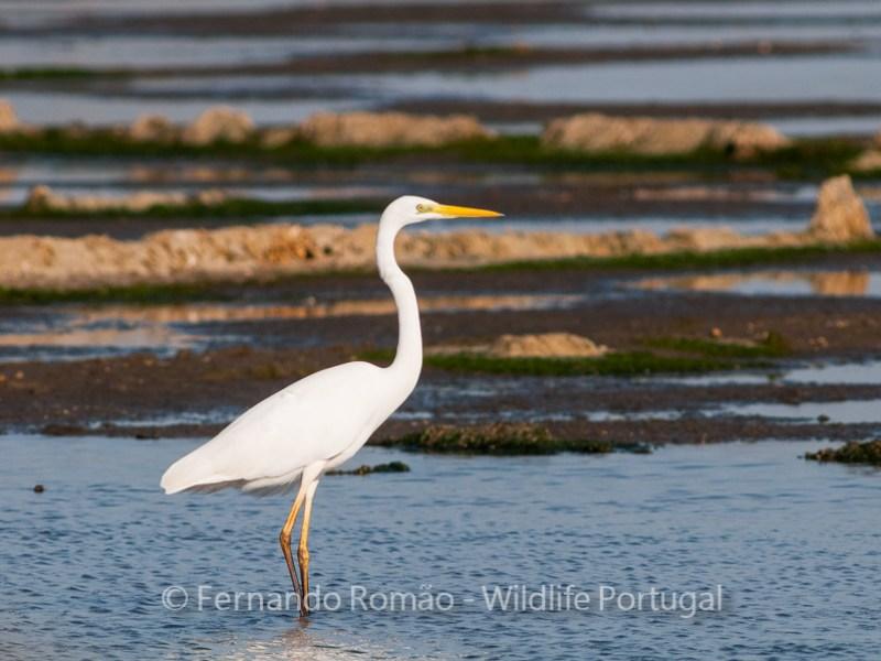 Birdwatching Great Egret