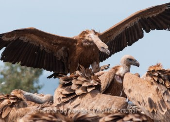 Birdwatching Griffon Vulture