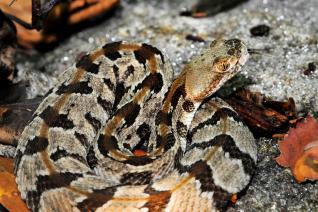 rattlesnake snake timber