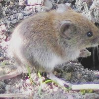 vole facts