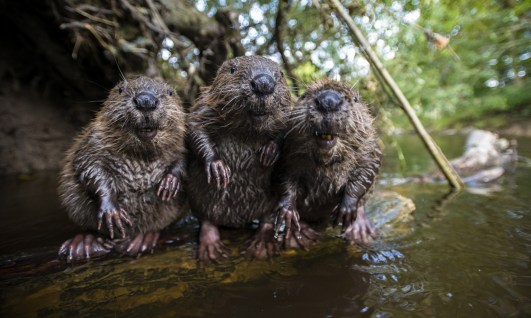 3 Beavers chilling by the water
