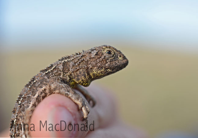 Grassland earless dragon - photo credit Anna MacDonald