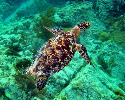 Beautiful adult hawksbill sea turtle. It's shell is used to make sunglasses and jewelry.