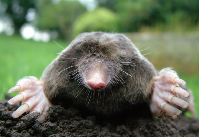 mole with head sticking out