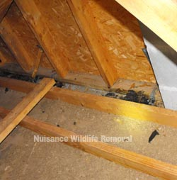 Wildlife left fecal matter in attic space - very dangerous and filthy.