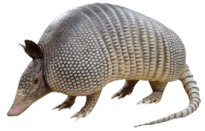 Armadillos are like four legged tanks with claws