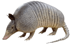 Parrish-Armadillo-Issue-Trapping-Removal