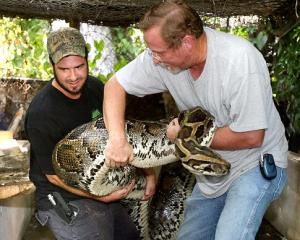 Delilah is 400 pounds Boa Constrictor snake