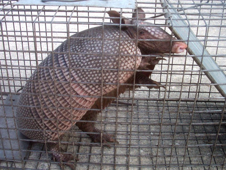 armadillo-removal-Sun City