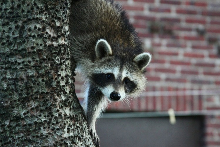Raccoon Removal Service Tampa