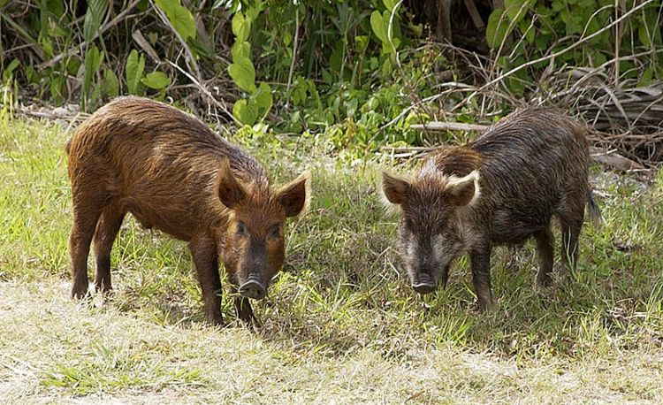 wild-hog-removal-lakewood-ranch