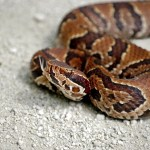 Cottonmouth-3128660