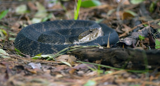 Water Moccasin on Leaves