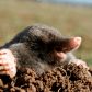 mole-removal-polk county