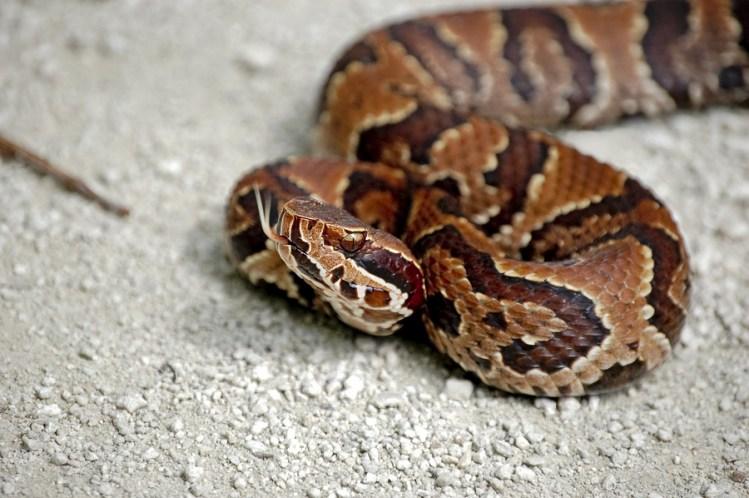 Juvenile-Cottonmouth-Snake-Removal-Longboat-Key